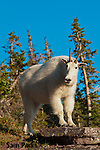 Mountain goat nanny. Glacier National Park, Montana.
