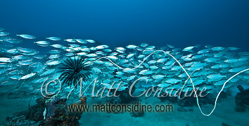 Large school of fish and a Feather Star (Crinoid) on a very long piece of wire coral, Palau Micronesia. (Photo by Matt Considine - Images of Asia Collection) (Matt Considine)