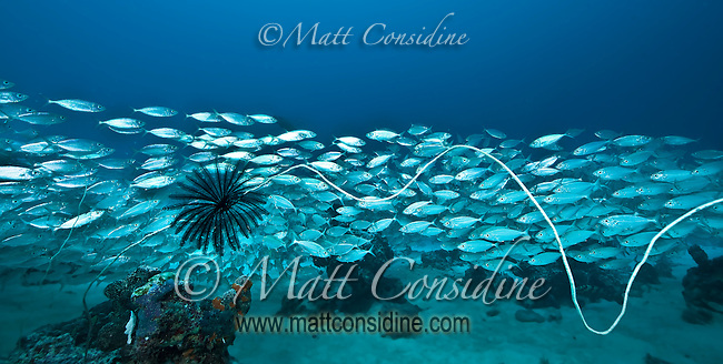 Large school of fish and a Feather Star (Crinoid) on a very long piece of wire coral, Palau Micronesia. (Photo by Matt Considine - Images of Asia Collection)