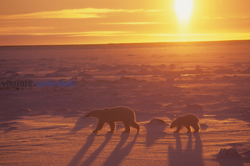 Polar Bear walking on ice with its first-year cub under the Midnight Sun (Ursus maritimus), North America.