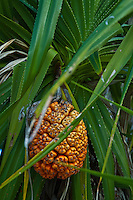 Pandanus (Pandanus tectorius) fruit on its tree, Maldives.