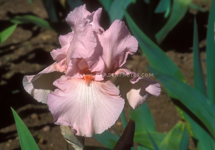 Iris 'Larue Boswell' bearded irises, closeup of single flower, pale pink, orange beard