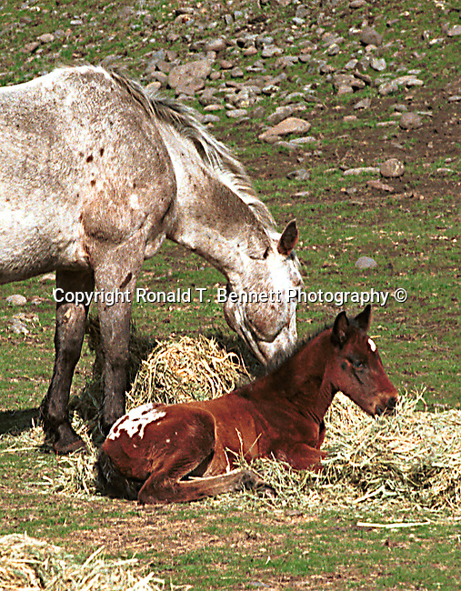horse and colt, wild horse, Horse, ponies, mares, stallion, saddle, Equus ferus caballus, domestic horse, yearling, colt, filly, gelding, pony, thoroughbred,Animal, wild animals, domestic animals,  Fine Art Photography, Ronald T. Bennett (c) Fine Art Photography by Ron Bennett, Fine Art, Fine Art photography, Art Photography, Copyright RonBennettPhotography.com ©