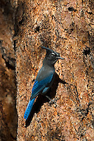 Steller's jay (Cyanocitta stelleri) on side of ponderosa pine tree.  Western U.S., Fall.