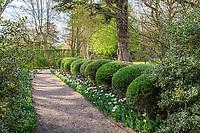France, Loir-et-Cher (41), Cheverny, château et jardin de Cheverny en avril, le jardin des apprentis, allée bordée de boules de houx à feuilles panachées, de saules à feuilles de romarin, de tulipes