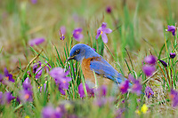 Male Western Bluebird (Sialia mexicana) The wildflowers are called Grass Widows or Blue-Eyed Grass and are one of the earliest wildflowers found in the Columbia River Gorge National Scenic Area. One often finds hardy individuals in early February, but the peak bloom for these flowers usually occurs in early March, which coincides with the return of these beautiful birds to this area.