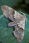 Big Poplar, Sphinx Moth, Pachysphinx modesta  Modest sphinx