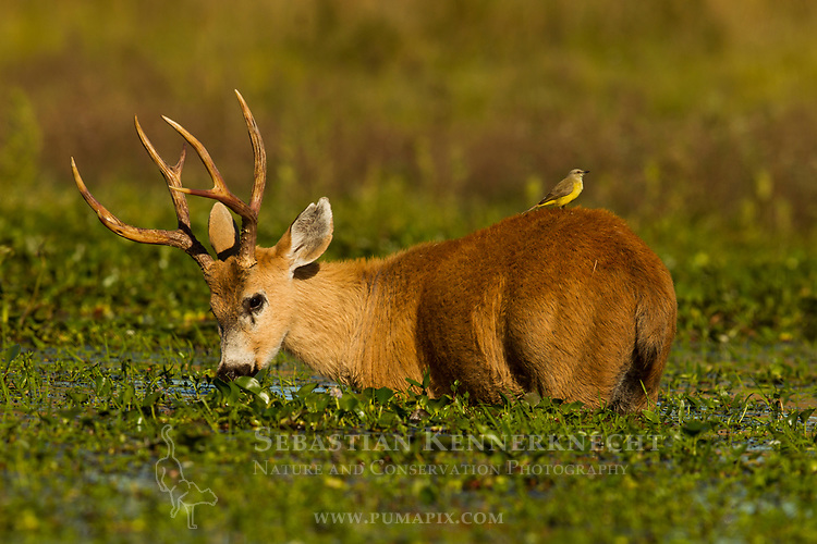 Marsh Deer (Blastocerus dichotomus) buck feeding on aquatic plants in marsh with Cattle Tyrant (Machetornis rixosa) on back, Ibera Provincial Reserve, Ibera Wetlands, Argentina