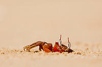 red ghost crab, Ocypode species, at its lair, Ngapali Beach, Thandwe, Myanmar, Asia