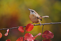 Carolina Wren (Thryothorus ludovicianus), adult perched on fall color branch of Crape myrtle (Lagerstroemia indica), New Braunfels, Hill Country, Central Texas, USA
