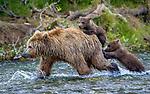 Brown bear and two cubs, Katmai National Park, Alaska
