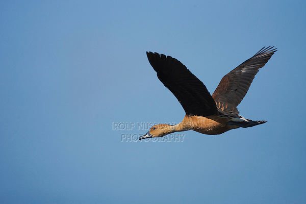 Fulvous Whistling-Duck (Dendrocygna bicolor), adult in flight, Sinton, Corpus Christi, Coastal Bend, Texas, USA