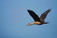 Fulvous Whistling-Duck (Dendrocygna bicolor), adult in flight, Sinton, Corpus Christi, Coastal Bend, Texas, USA