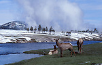 elk and Firehole River