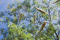 Fish and Mesquite tree, Rio Grande Valley, South Texas, USA