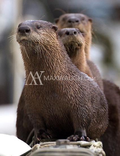 I encountered this family of otters one morning while heading to our boat.