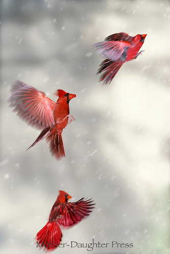 Three views of a male cardinal flying through clouds and snow with effort