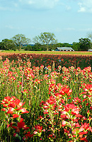Vast carpet of Red Indian Paintbrush flowers in a field in Texas in the early spring.