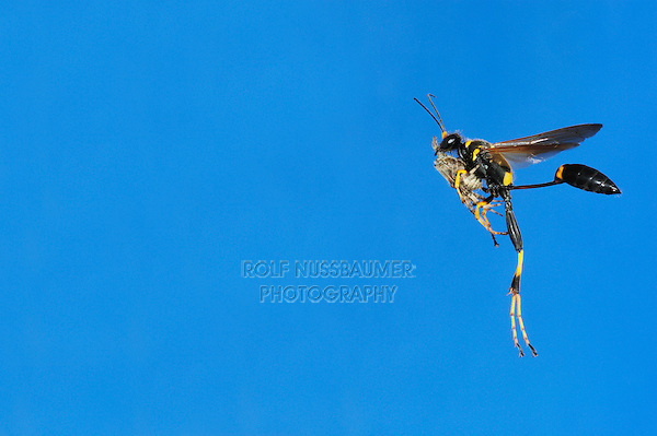 Black and yellow Mud Dauber (Sceliphron caementarium), female in flight with spider prey, Comal County, Hill Country, Central Texas, USA