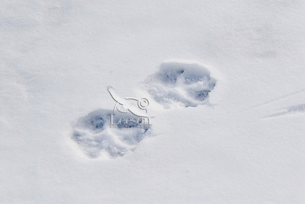 Gray Wolf (Canis lupus) tracks in snow.