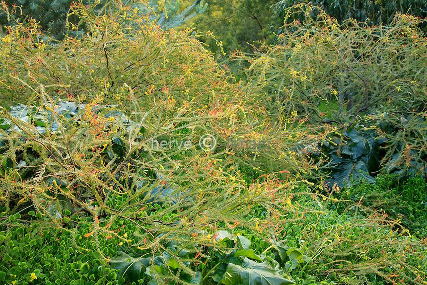 Le domaine du Rayol en f&eacute;vrier : mimosa (Acacia calamifolia)<br /> <br /> <br /> (mention obligatoire du nom du jardin &amp; pas d'usage publicitaire sans autorisation pr&eacute;alable)