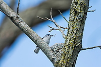 Blue-gray Gnatcatcher or Blue-grey Gnatcatcher (Polioptila caerulea) building nest.  Great Lakes Region.  May.