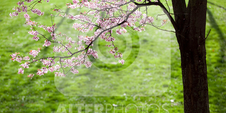 Almond trees bloom with their pink flowers during the beginning of the Spring in Spain. Every year the bloom of these trees mark the beginning of the heat and a new season. March 31, 2013 (Victor J Blanco/Alterphotos)