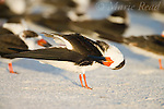 Black Skimmers (Rynchops niger), non-breeding plumage, preening its wing, Fort De Soto Park, Florida, USA