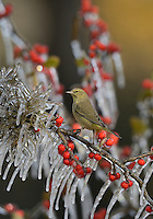 Orange-crowned Warbler (Vermivora celata), adult perched on icy branch of Possum Haw Holly (Ilex decidua) with berries, Hill Country, Texas, USA