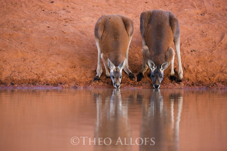 Australia,  NSW, Sturt National Park; red kangaroo males (Macropus rufus) drinking at water hole; the red kangaroo population increased dramatically after the recent rains in the previous 3 years following 8 years of drought