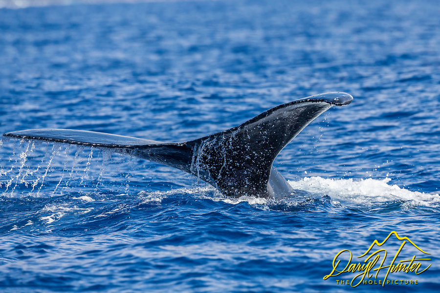 Whales's Tail.  My tale of the whale's tail. Humpback Whales spend the winter in Hawaii for breeding and calving.  During this time they don't feed, so there was no bubble feeding opportunities, I learned they rarely breach while in Hawaii. I am happy with my tail tale and photo.