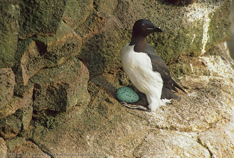 Common murre with egg, St. Paul Island, Pribilof Islands, Alaska.