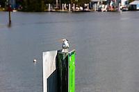 US, Florida. Ten Thousand Islands, Everglades. Royal Tern outside Everglades City..