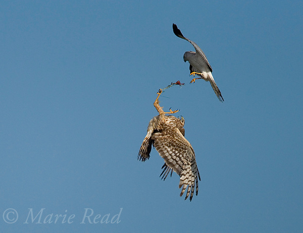 Northern Harriers (Circus cyaneus) pair during food exchange near nest, Montezuma National Wildlife Refuge, New York, USA.<br />