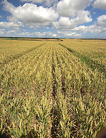 Napier winter wheat sown in wide spaced rows proved not as good as patches for attracting skylarks.