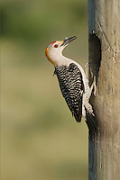 Golden-fronted Woodpecker (Melanerpes aurifrons), male at nesting cavity with insect prey, Sinton, Corpus Christi, Coastal Bend, Texas, USA