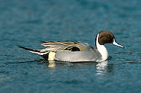 Pintail Anas acuta L 51-66cm. Recognised by elongated appearance; male is unmistakable. In flight, male's grey wings and green speculum are striking; female's white trailing edge on inner wing is obvious. Sexes are dissimilar in regards. Adult male has chocolate brown head and nape, with white breast extending as stripe up side of head. Plumage is otherwise grey and finely marked but note cream and black stern, and long, pointed tail, often held at an angle. In eclipse, resembles adult female but retains wing pattern. Adult female has mottled buffish brown plumage. Juvenile is similar to adult female. Voice Male utters a whistle, female's call is grating. Status Rare breeding species (on freshwater marshes) but fairly common in winter, often on estuaries.