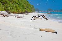 Laysan Albatross, Phoebastria immutabilis, flies past a sleeping Hawaiian monk seal, Neomonachus schauinslandi, Critically Endangered endemic species, Sand Island, Midway, Atoll, Midway Atoll National Wildlife Refuge, Papahanaumokuakea Marine National Monument, Northwest Hawaiian Islands ( Central North Pacific Ocean )