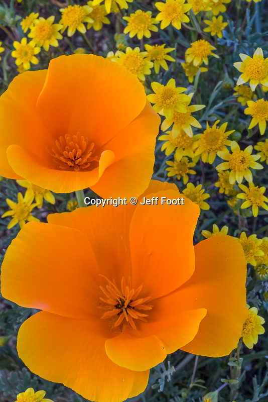 California Poppy (Eschsholtzia californica)  and Goldfields (Lasthenia californica)  in Antelope Valley California.