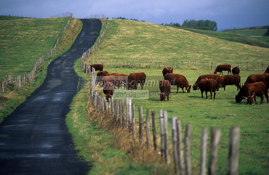 Europe/France/Auvergne/15/Cantal/Env d'Apchon: Vaches Salers en paturage