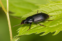 A Ground Beetle (Anisodactylus melanopus) perches on a leaf.