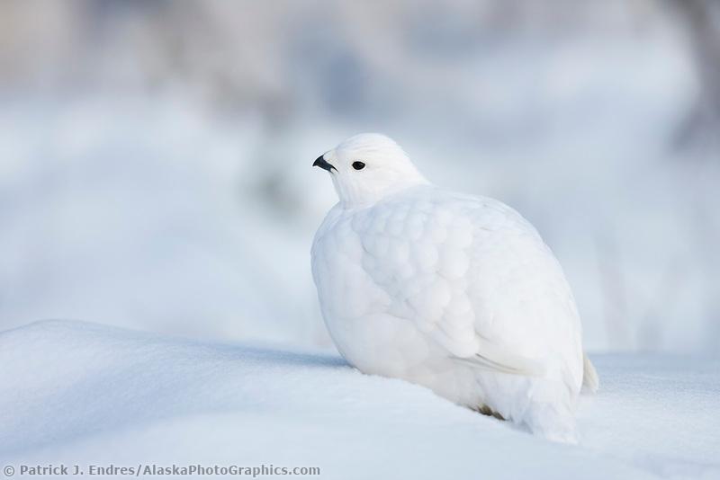 Willow ptarmigan rests in the fresh snow, Fairbanks, Alaska.