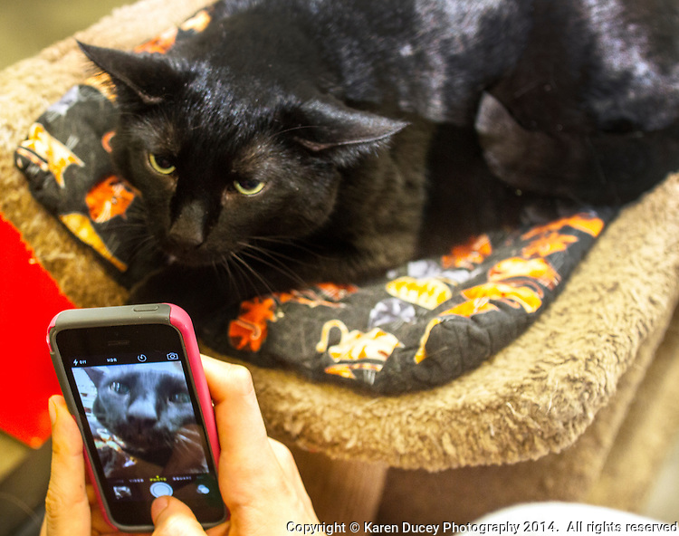 Edwin, a 7 year old cat whose owner lost his home and job and had to give him up, shows little amusement for the camera held by Purrfect Pals volunteer, Lily Giroux, 14 from Bothell, Wash.,  in the adoption center at Petsmart in Woodinville, Wash. on March 28, 2015. All the adoption fees paid by new owners go back to the nonprofit rescue, tax free.  Petsmart donates food and litter in the adoption center.  According to their website their cats and kittens are available for adoption in four Petco stores, seven Petsmart stores and Denny's Pet World.  Purrfect Pals is a non-profit cat shelter and sanctuary based out of Arlington, Washington who specialized in special needs pets. (photo © Karen Ducey Photography)