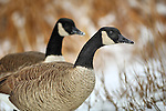 two Canadian geese in the winter in Longmont, Colorado