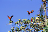 Marenco, Osa Peninsula, Costa Rica. Red and blue macaws (scarlet macaw, ara macao) flying and in a tree.