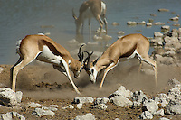 Two springbok bucks square up and lock horns. One of these bucks had been in position near the Okaukuejo water hole in Namibia's Etosha National Park for some hours and was challenging all-comers by frequent aggressive grunting noises.