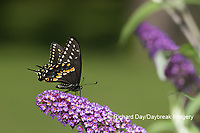 03009-02001 Black Swallowtail (Papilio polyxenes) male on Butterfly Bush (Buddleja davidii) Marion Co. IL