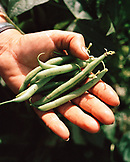 ITALY, Siena, Castello Di Spannochia, close-up of human hands holding green beans