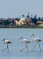 CYPRUS, Larnaca: flamingos at salt lake, background Hala Sultan Tekkesi mosque<br />