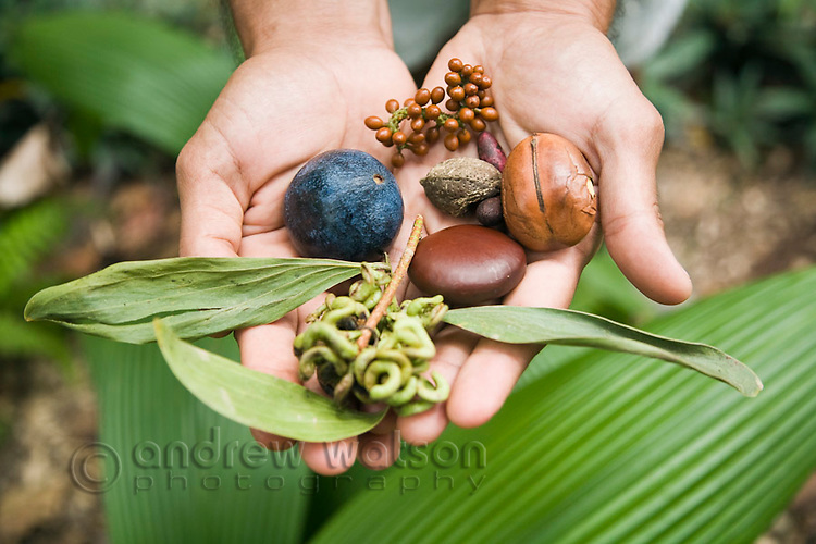 Seeds and fruits gathered from the rainforest - used as food and medicine by the indigenous Kuku Yalanji people of North Queensland.  The Kuku Yalanji are the indigenous inhabitants of the region stretching from Cooktown in the north and Port Douglas in the south.  Daintree, Queensland, Australia